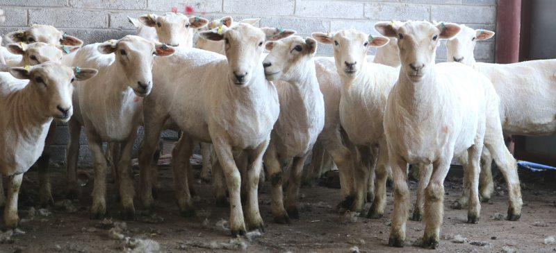 Marriner Yarns flock | Our sheep have been sheared for the winter